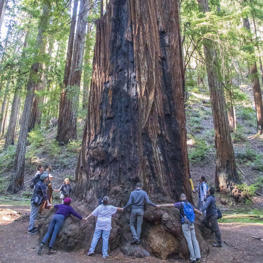 People holding hands around a redwood tree.