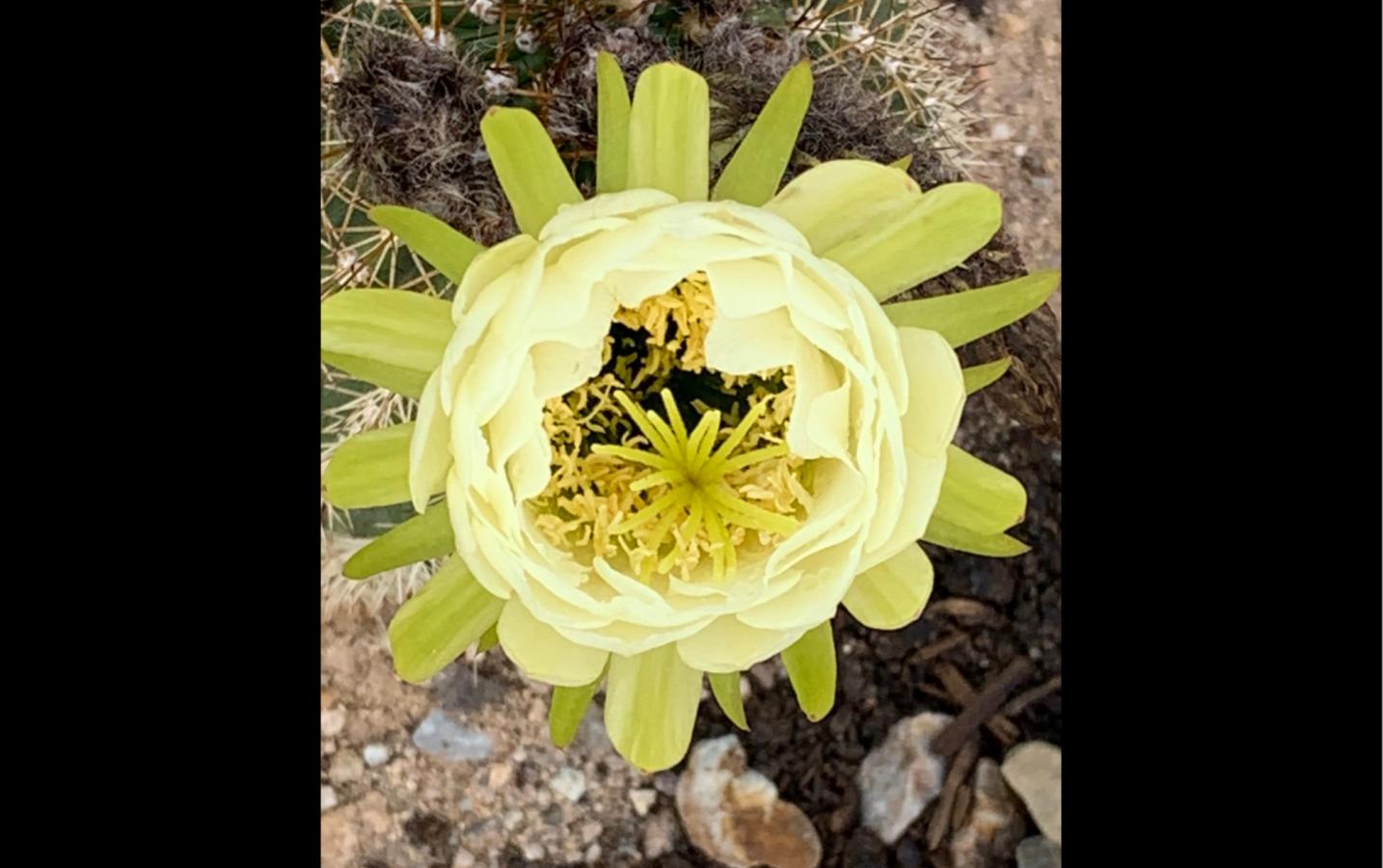 Cactus flower --Cindy Wang