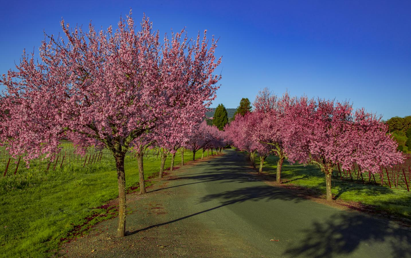 Flowering plum trees, Ukiah Valley