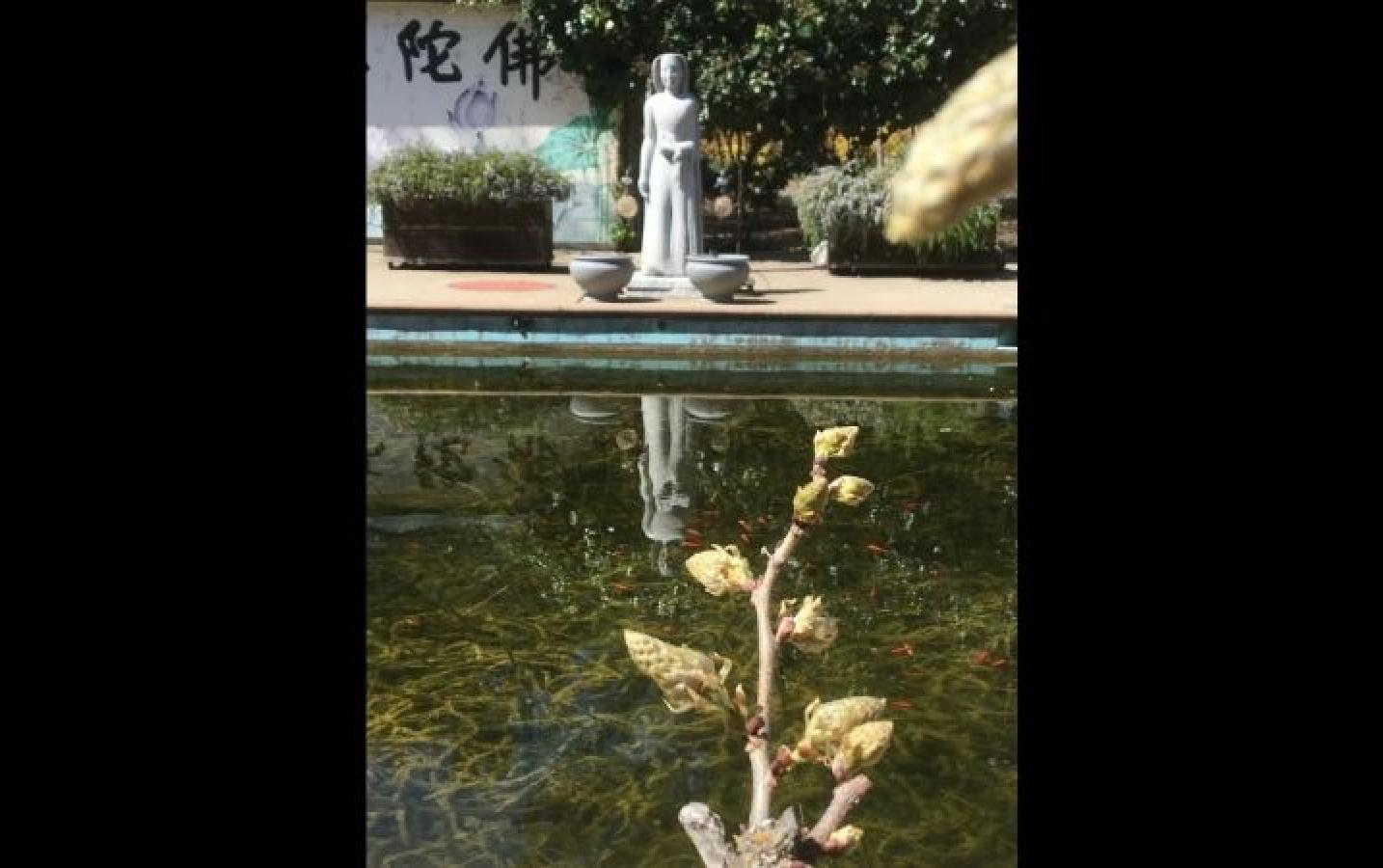 Jin Xiang Shi: Buds from wisteria vine that winds along the fence at the CTTB Lotus Pool. The goldfish in the pond must be glad that spring has arrived. The statue in the background represents Bodhisattva Avalokiteshvara.