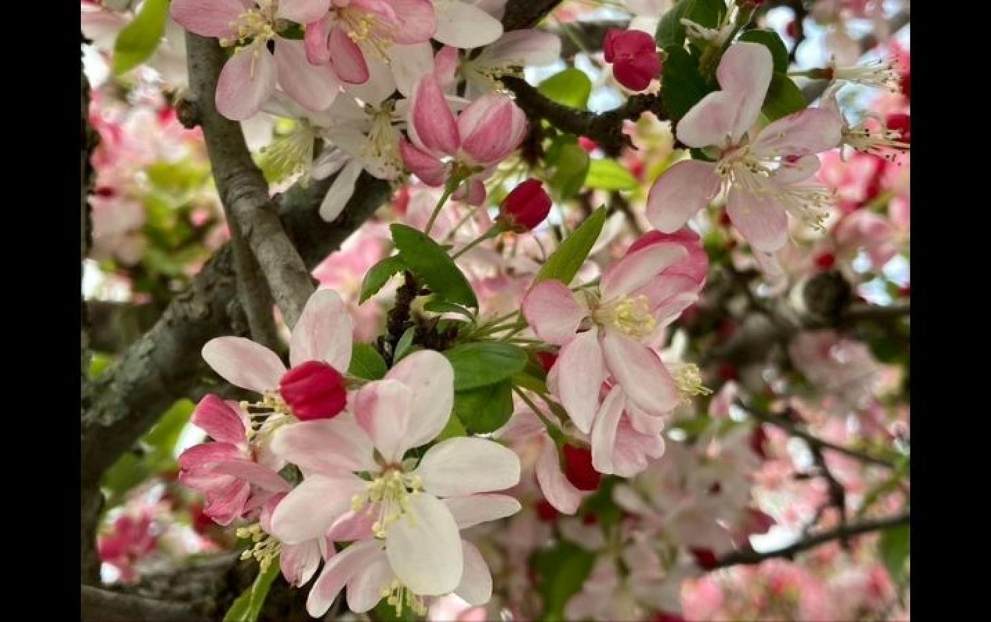 "Marty: A photo from my porch facing the ocean and two traditional Japanese haiku to accompany:  ""Apple blossoms!  See!  Apple bloom!"" – and it was sung  Of this old tree.""  ""They blossom, and then  We gaze, and then the blooms  Scatter, and then…"""