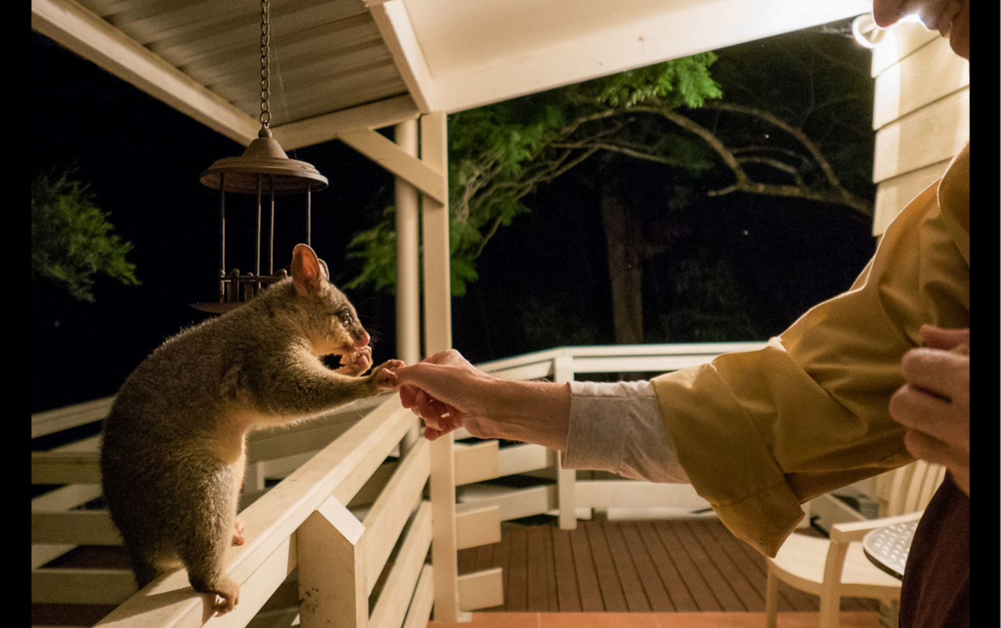 The first is a brush-tailed possum holding thumbs with a monk at night while the possum nibbles on a piece of apple. --Rev. Heng Sure
