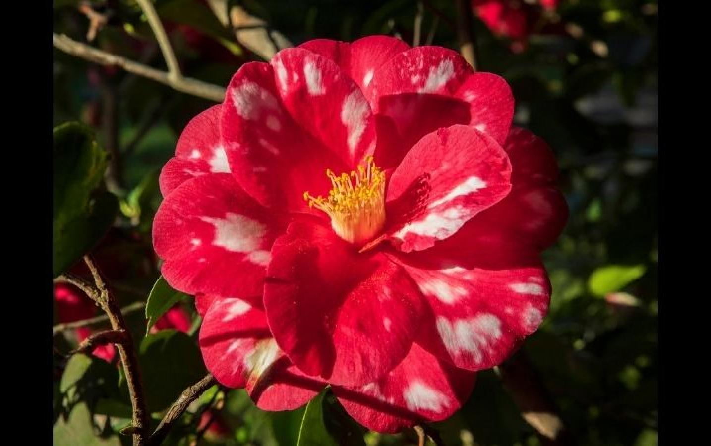 "Stan: ""This camellia was enjoying the late afternoon sun by my front porch."""