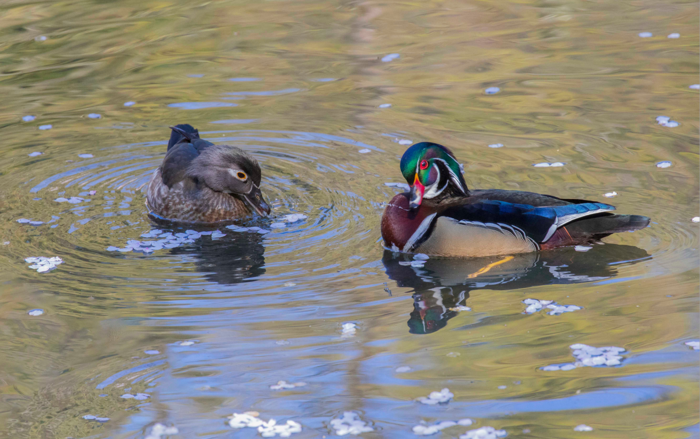 On a lovely April afternoon I photographed these Wood Ducks at Lithia Park, Ashland Oregon. --Stan Shoptaugh